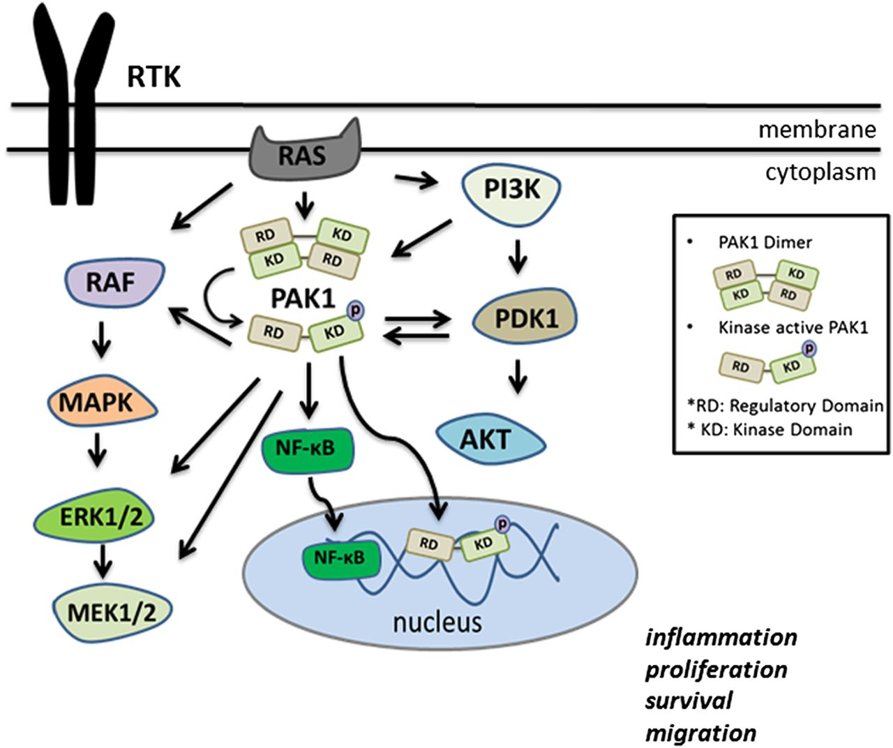Republished Tracing Paks From Gi Inflammation To Cancer